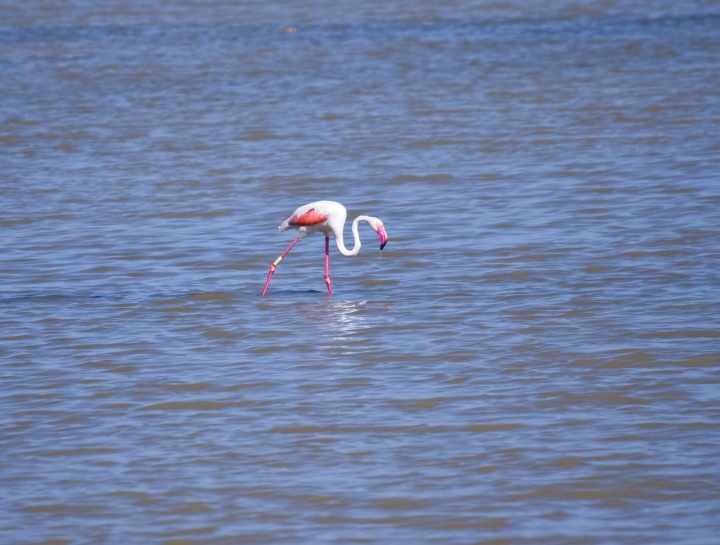Flamingos_0457