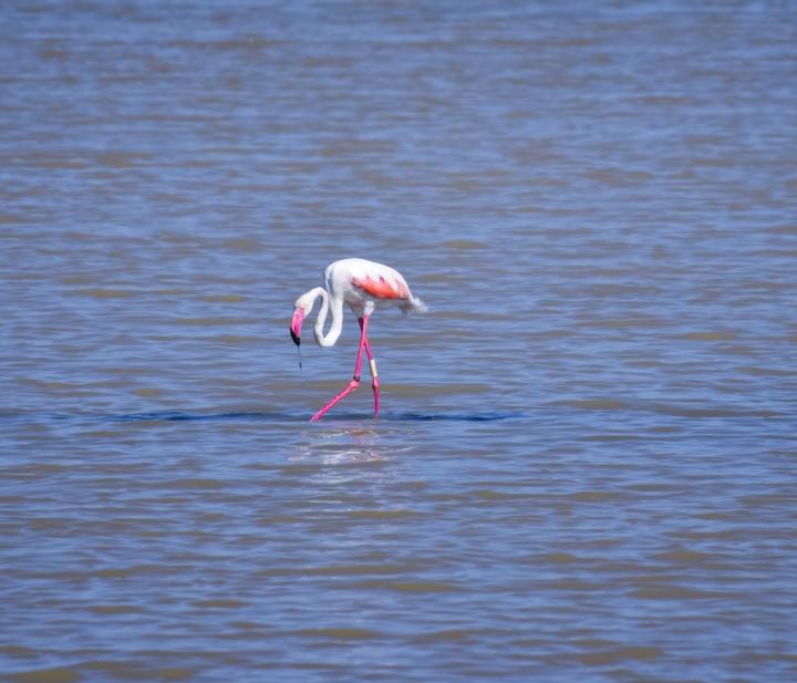 Flamingos_0467