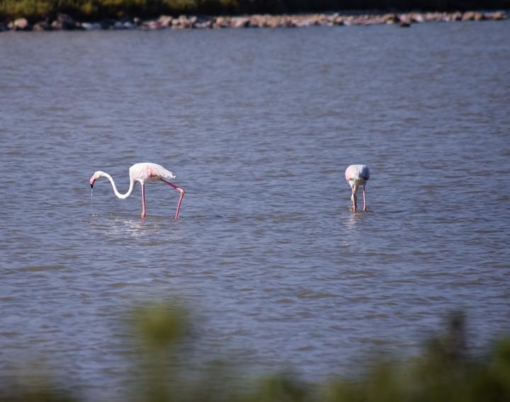 Flamingos_0539