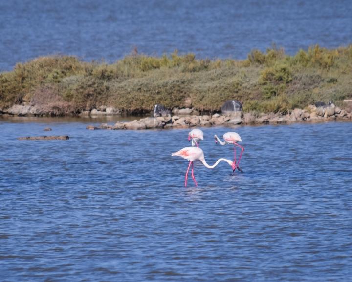 Flamingos_0574